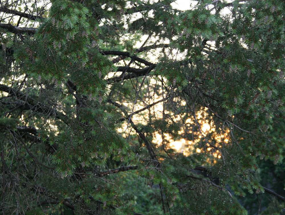 , Balsam Fir, sun shower, sunset