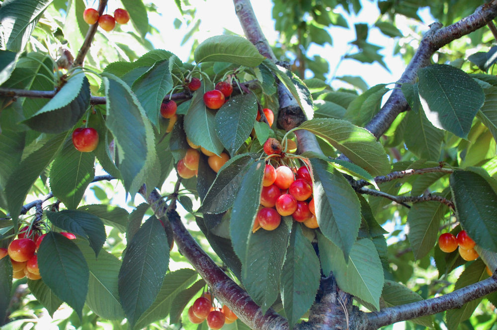 Ranier Cherries, Hood River, Oregon