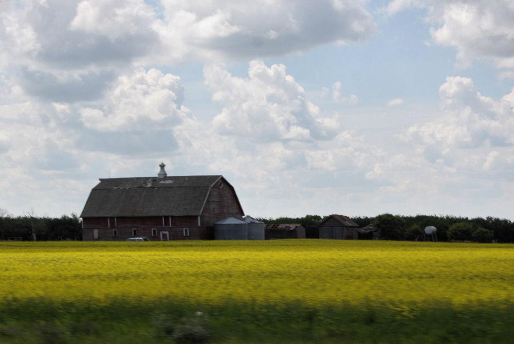 Old Wood barn, Canola field, Saskatchewan