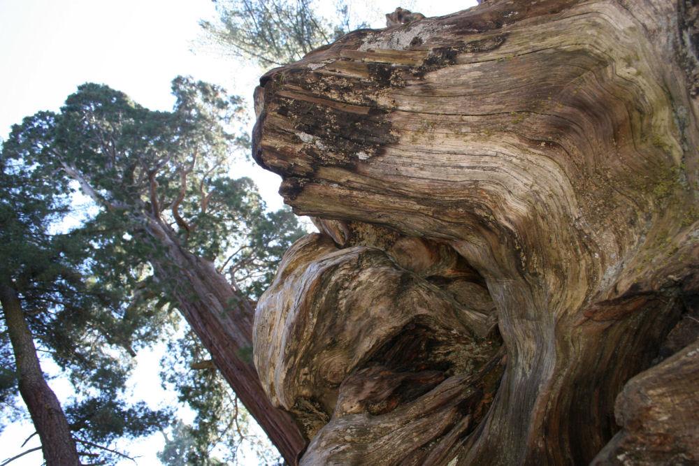 Sequoia stump, Sequoia National Forest, California