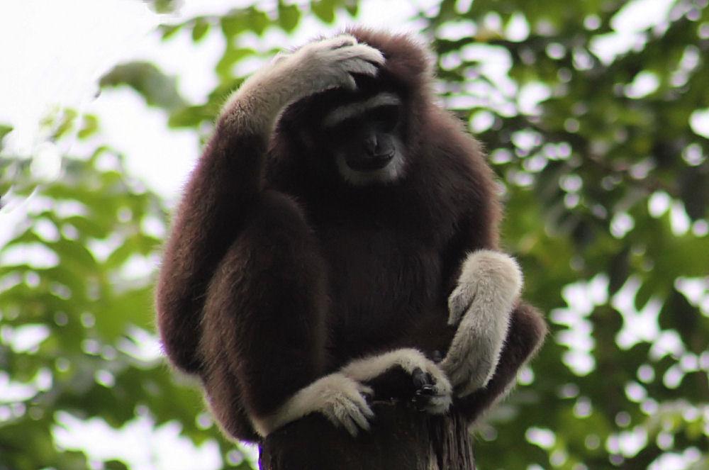 Singapore Zoo primate