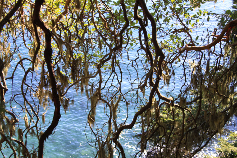 Arbutus branches, Sooke Harbour, Vancouver Island, BC