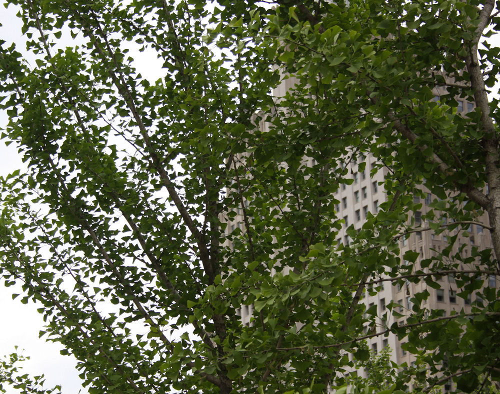 St. Louis, Missouri - Ginkgo Biloba tree