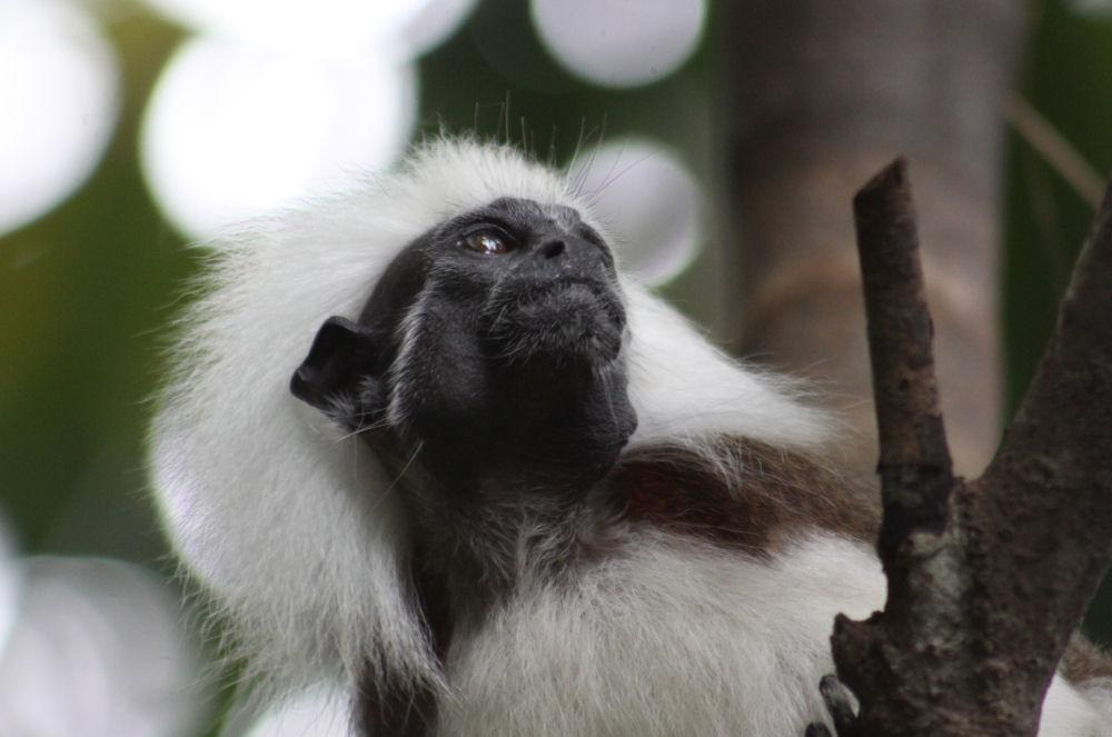 Cottontop Tamarind, Singapore Zoo