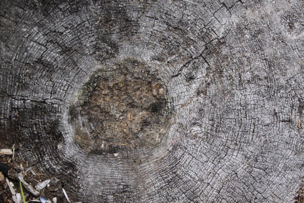 Driftwood stump showing tree age rings, Washington coast