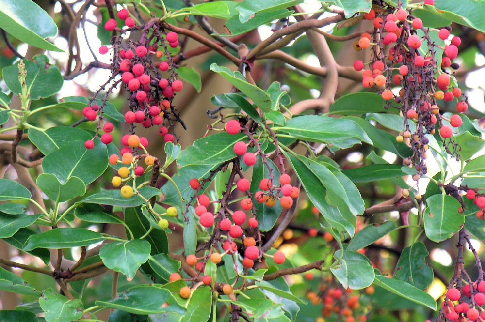 Arbutus berries, edible but contain high levels of tanin