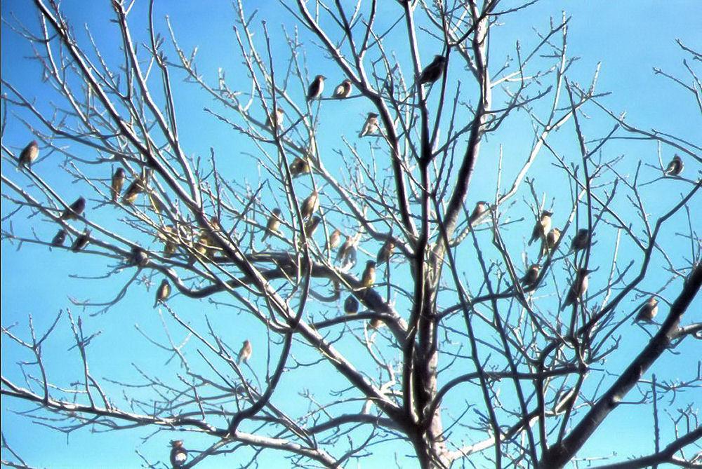 Cedar waxwings in front yard oak, Lewisville, TX