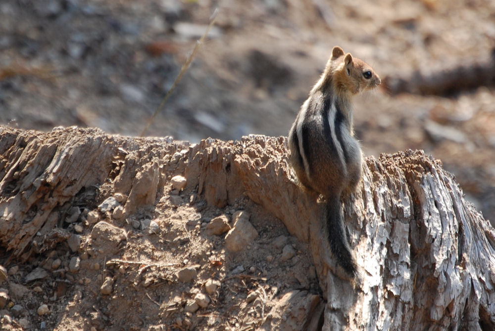 Chipmunk, Crater Lake OR