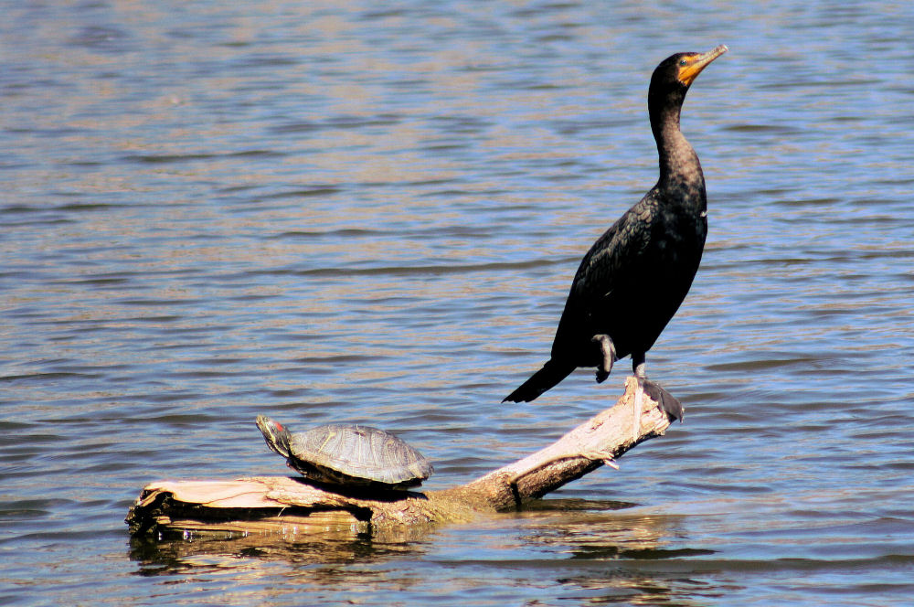 Cormorant and turtle sharing a driftwood island, White Rock Lake, Texas