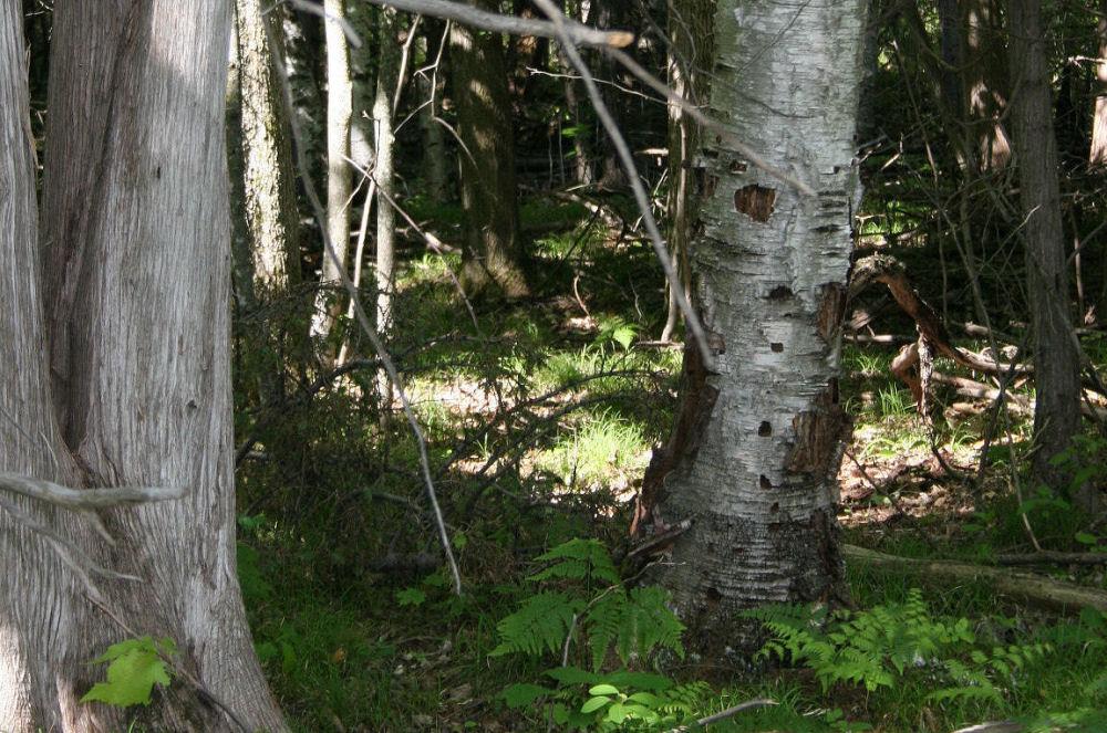 Rotting Birch from bark removal, Stony Swamp trail, Ottawa ON