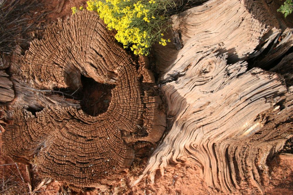 Dead Juniper stump, Sedona AZ