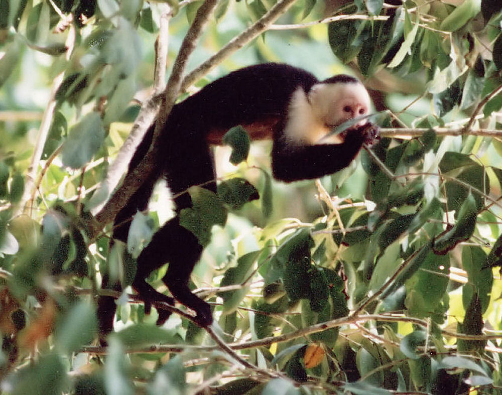Costa Rica, Fig tree and white-faced monkey
