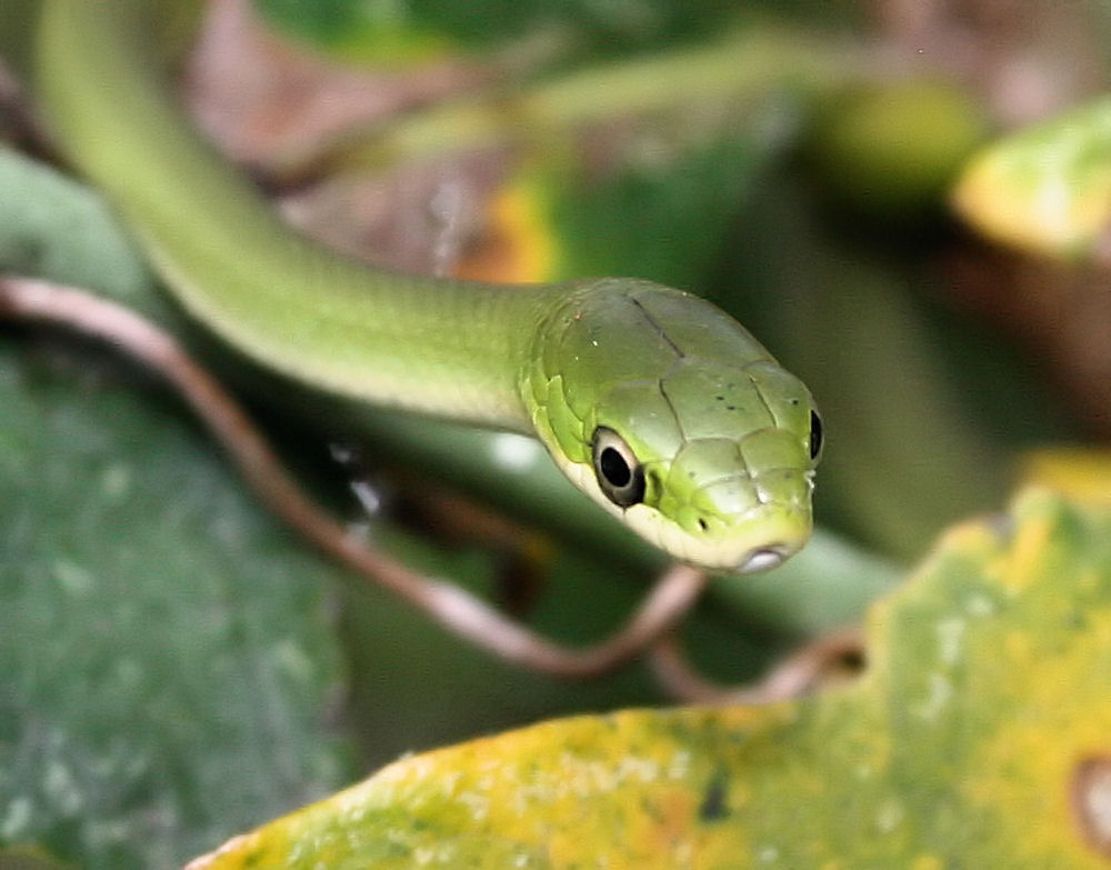Harmless Greensnake, Coppell TX