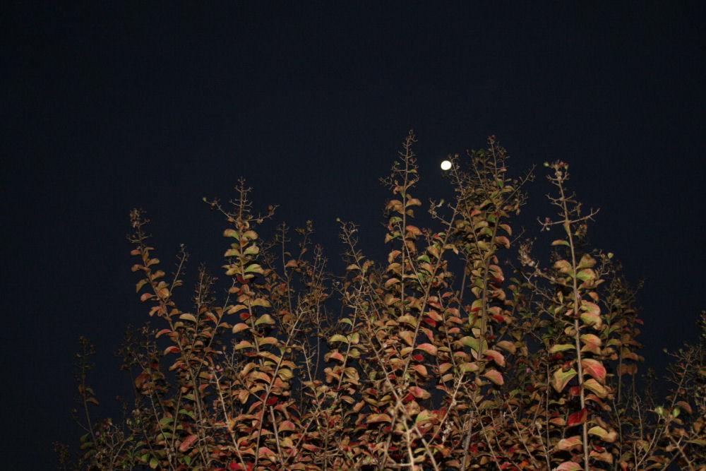 Crepe Myrtle tree, moonlight