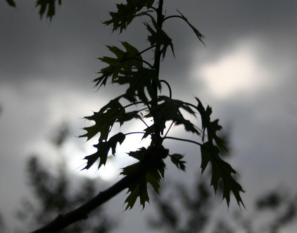 Scarlet Oak, new Spring leaves, Lewisville, TX