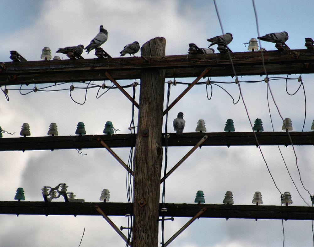 Pigeon nesting site on wood telephone pole, Birmingham, Alabama