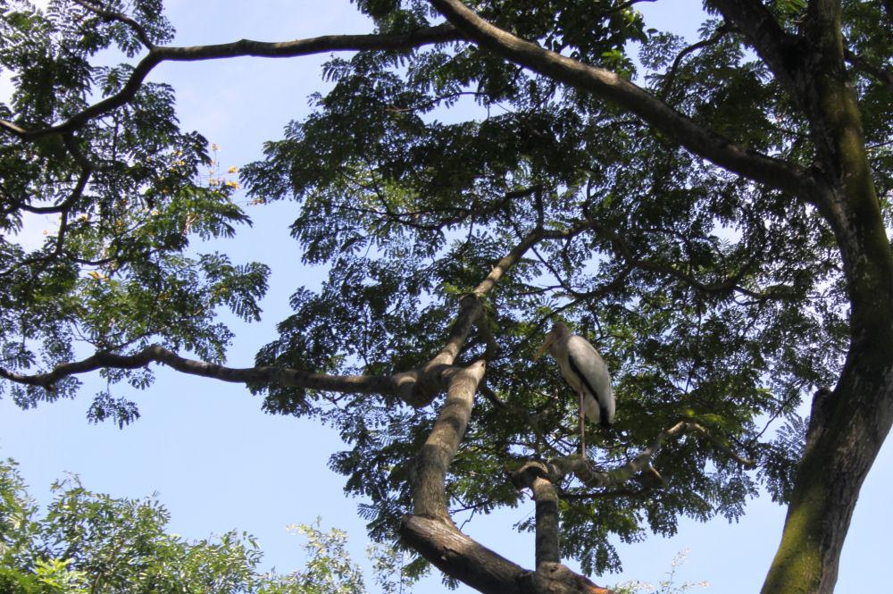 Stork, Jurang Bird Park