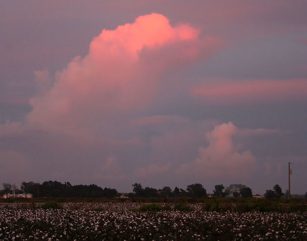 Cotton farm, oak trees at sunset, Washington North Carolina