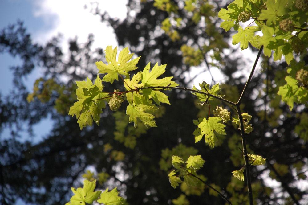 Bigleaf Maple flowers, Beaverton OR