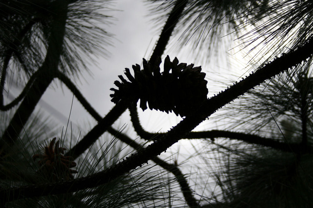 Mexican Pine cone silhouette, Sierra Madres Mountains, Mexico