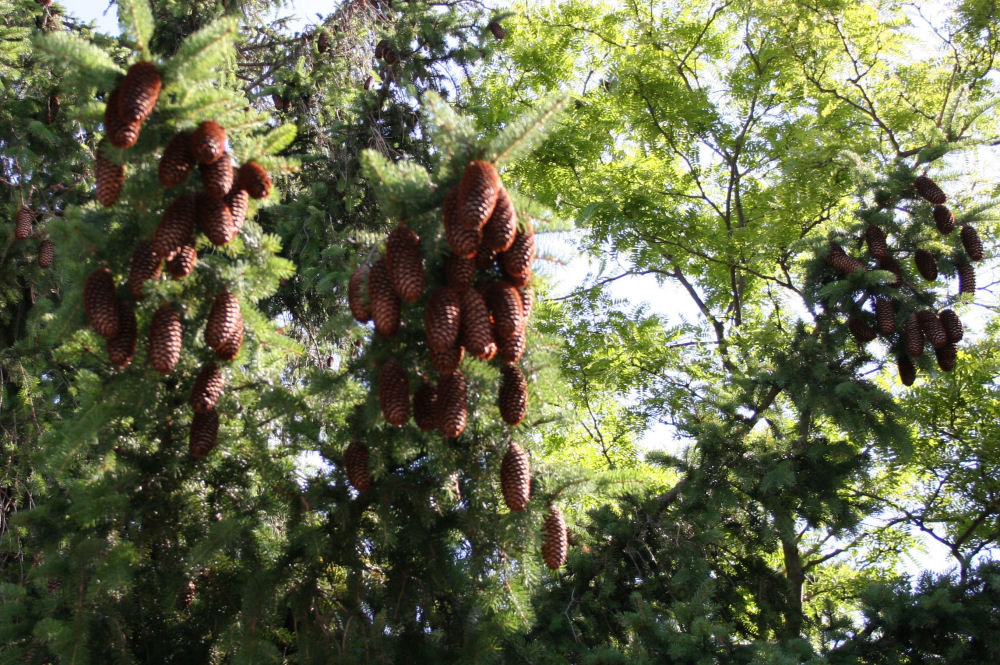 Norway Spruce cones, Kingston ON Canada