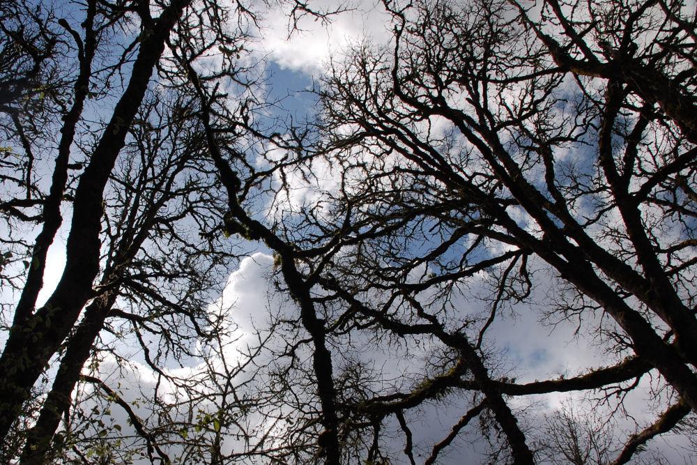 Oregon White Oak, Beaverton OR