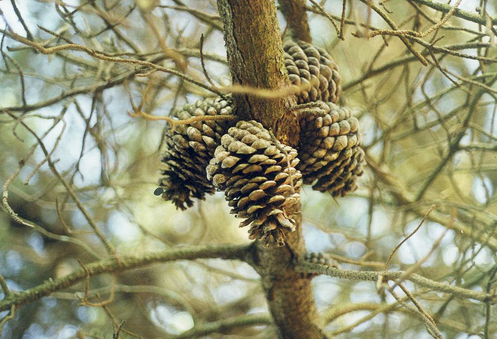 Pine cones, Adelaide, Australia