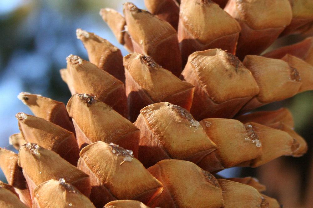 Ponderosa Pine cone, Mariposa Grove, King's Canyon National Park, California