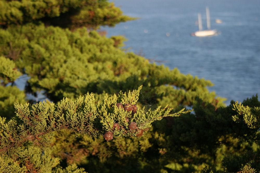 Port Orford cedar cones, Santa Cruz, California