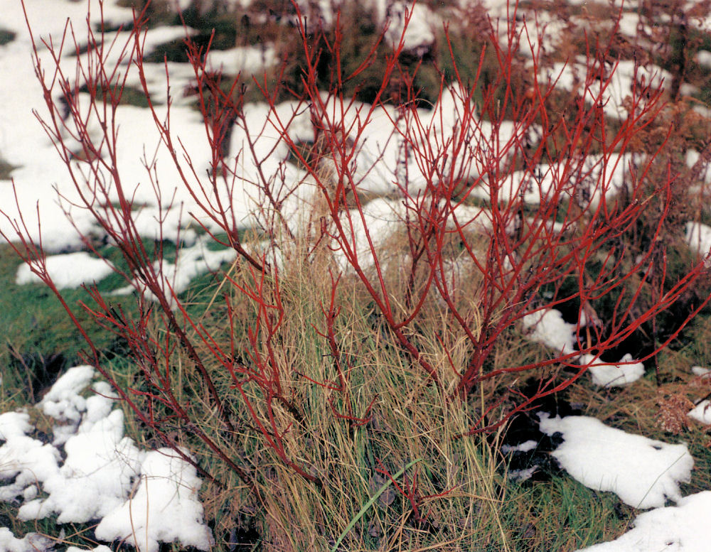 January thaw, red willow shoots, Fallowfield, Ontario