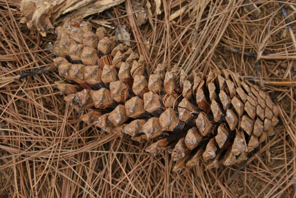 Oaxaca pine cone, Sierra Madres Mountains, Mexico