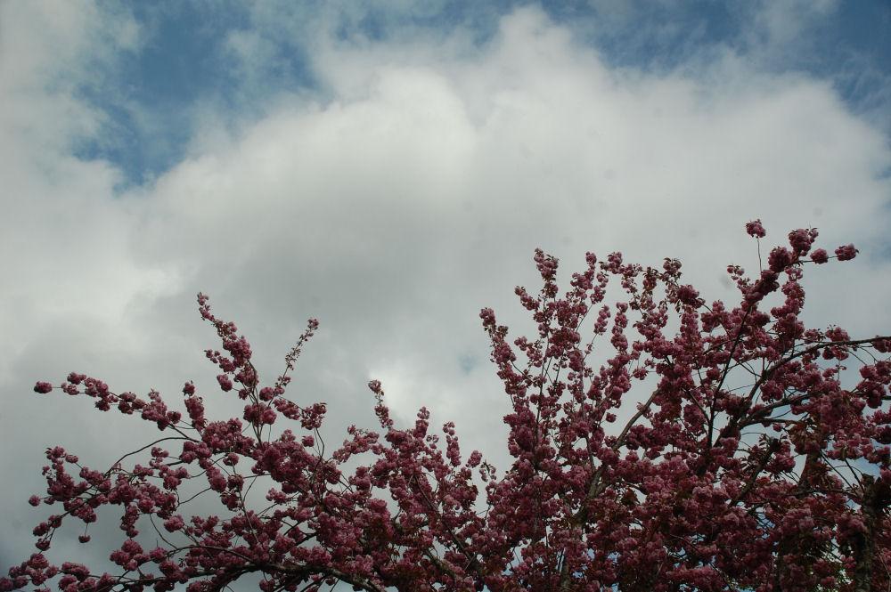 Plum blossoms, Hillsboro OR