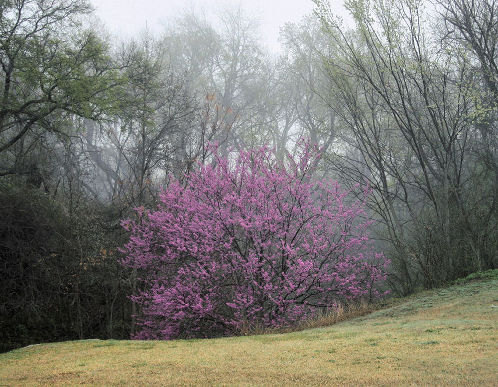 Eastern Redbud, mid-March, Coppell, Texas